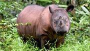 Tê giác Sumatra tuyệt chủng tại Malaysia