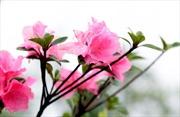 Phát hiện giống hoa đỗ quyên đã 'mất tích'nhiều thập kỷ