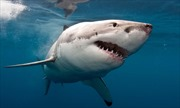 Báo động tình trạng đánh bắt cá mập ở Bắc Đại Tây Dương