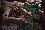 Hàn Quốc phát hiện thêm 2 trang trại nghi nhiễm dịch tả lợn châu Phi