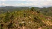 Cơ quan chức năng vào cuộc điều tra vụ phá rừng thông ở Lâm Đồng