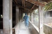 Khẩn trương dập tắt ổ dịch tả lợn châu Phi đầu tiên ở Đông Triều - Quảng Ninh