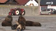 Sư tử biển 'thư giãn' giữa phố cảng mùa dịch COVID-19