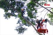 'Người nhện' đu mình cắt tỉa cây xanh giữ lòng thành phố