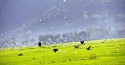 Cò nhạn quý hiếm xuất hiện ở vùng Bảy Núi An Giang
