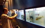 TP Hồ Chí Minh xuất khẩu cá cảnh đạt khoảng 23 triệu đô la Mỹ
