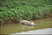 Bắc Giang tập trung xử lý tình trạng vứt xác lợn chết ra môi trường