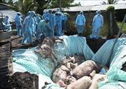 Bình Thuận đã xuất hiện dịch tả lợn châu Phi