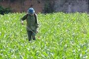Nhiều giải pháp giúp nông dân phòng trừ sâu keo mùa thu