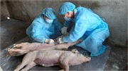 Giá lợn hơi 'phi mã', người dân vẫn ngại tái đàn