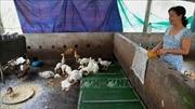 Kiên Giang: Chuyển đổi vật nuôi sau ảnh hưởng của dịch tả lợn châu Phi