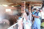 Dịch tả lợn châu Phi lây lan tại Ninh Thuận