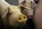 Giới khoa học Nhật Bản thí điểm nuôi cấy tụy người ở lợn