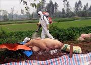Các địa phương khẩn trương triển khai các giải pháp chống dịch tả lợn châu Phi