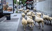 Trường học tại Pháp tuyển 'học sinh' cừu để tránh đóng cửa