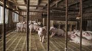 Trung Quốc lắp điện cao áp trong chuồng lợn để diệt dịch tả lợn châu Phi