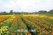 Nhà vườn Chợ Lách sản xuất hơn 10 triệu sản phẩm hoa Tết theo đơn đặt hàng
