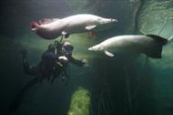 Loài cá có 'áo giáp' thách thức 'thủy quái' Piranha