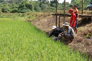 Khi đồng bào M'Nông học nghề trồng lúa nước