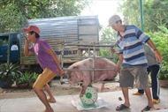 Doanh nghiệp Đan Mạch đầu tư vào dự án nuôi lợn ở Việt Nam