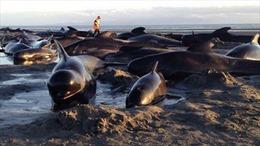 90 cá voi mắc cạn trên bãi biển New Zealand