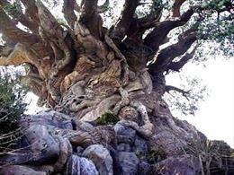 Chiêm ngưỡng cây bụt mọc lớn nhất thế giới