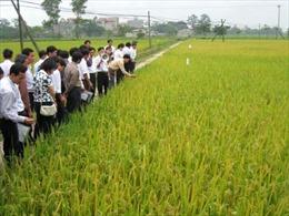 Ứng dụng KH&CN sản xuất giống lúa, ngô chất lượng cao