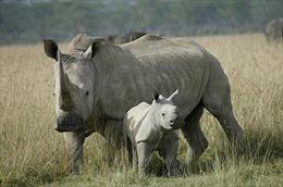 Cấm mua bán mẫu vật tê giác và voi châu Phi