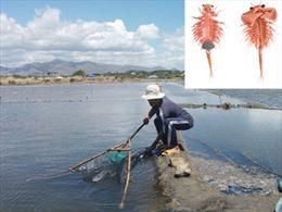 Người dân Ninh Thuận đổ xô đánh bắt con Artemia