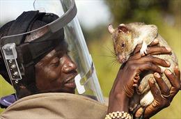 Chuột khổng lồ giúp dò mìn