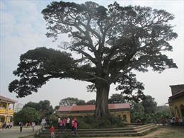 """Bảo tồn """"cây trăm tuổi - """"Kì 2: """"Chứng nhân lịch sử"""" ở trường làng"""