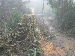Khởi tố vụ án chặt phá rừng pơmu tại VQG Vũ Quang