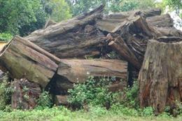 Gần 80 mét khối gỗ quý hiếm chờ... mục