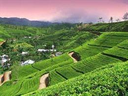 Sri Lanka quảng cáo trà Ceylon như Viagra