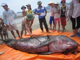 Cá voi dài 2m dạt vào bờ biển Hà Tĩnh