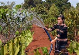 Đa dạng hóa cây trồng trong tái canh cà phê