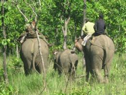 Thả voi rừng dính bẫy về tự nhiên