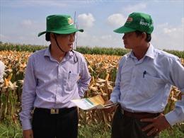 Chuyển đổi đất trồng lúa năng suất thấp sang trồng ngô
