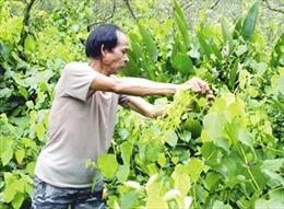 Hiệu quả kinh tế từ cây rau bò khai