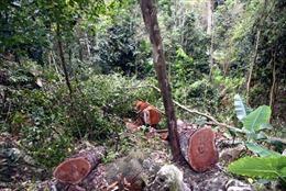 Lâm tặc ngang nhiên phá rừng phòng hộ