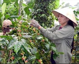 Xem xét giãn nợ tín dụng xuất khẩu cà phê