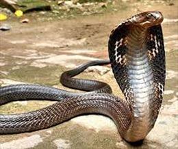 Mang rắn hổ mang chúa còn sống lên xe khách