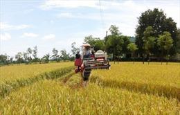 Cần mô hình liên kết sản xuất và tiêu thụ lúa gạo hiệu quả