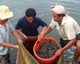 Vụ thương lái Trung Quốc thu mua tôm: DN trong nước lao đao