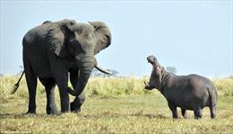 Cuộc đối đầu giữa voi và hà mã