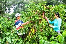 Dành vốn cho Tây Nguyên tái canh vườn cà phê