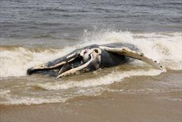 Xác cá voi dài 13m dạt vào bờ biển Thanh Hóa