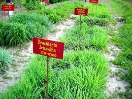 Loại cỏ giúp giảm khí nhà kính