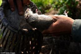'Công nghiệp thịt chuột' Việt Nam qua ống kính AFP
