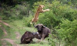 Trâu rừng húc bay sư tử cứu bạn